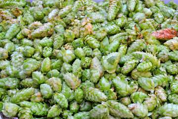 Fresh Hop Co-Op Harvest Return Day @ Red Arrow Brewing